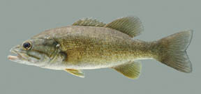 smallmouthbassthumb